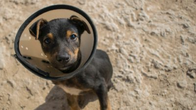 black and brown puppy in a cone