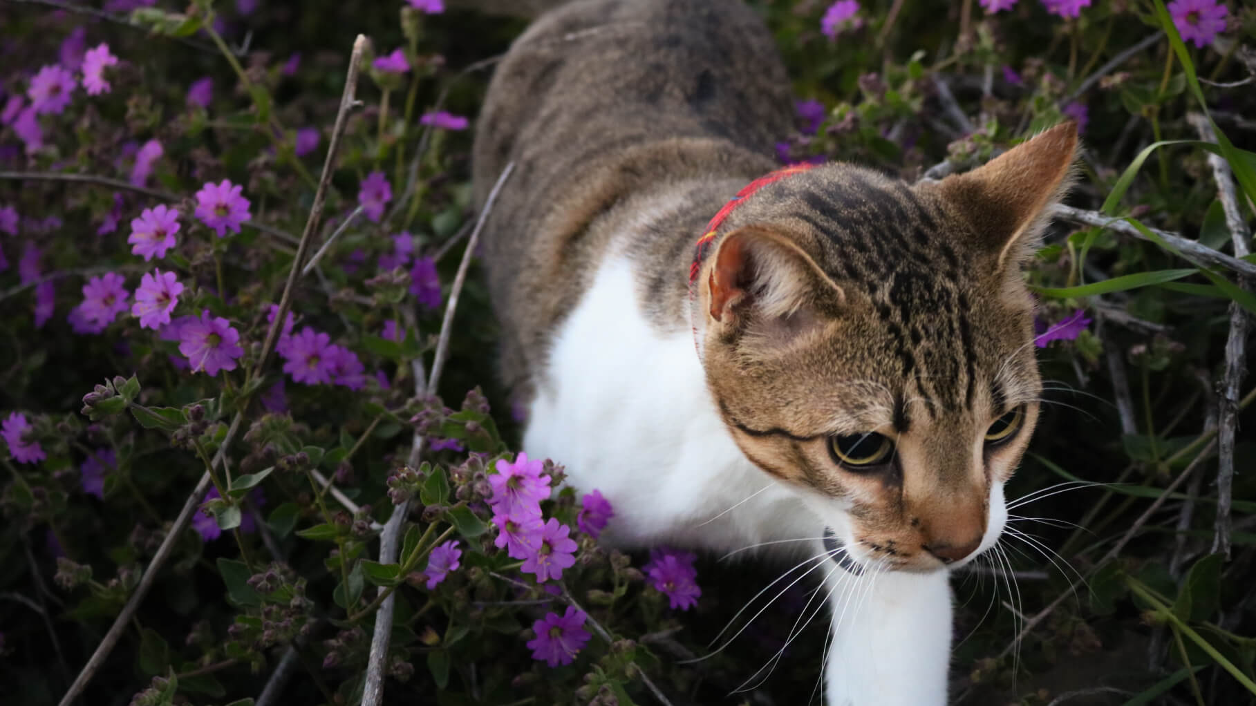 cat walking through a flower garden after his owner learned about spring health tips