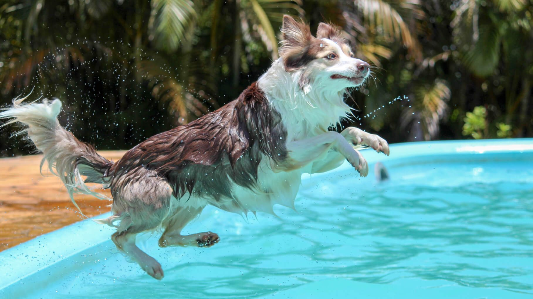 collie jumping into a pool of water