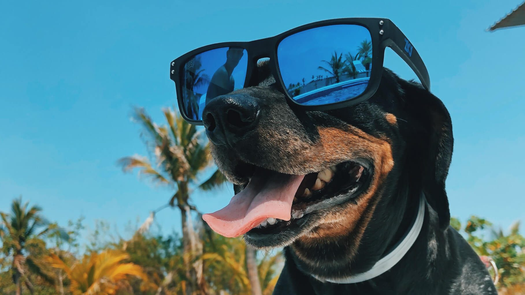 dog wearing sunglasses in the chicago heat