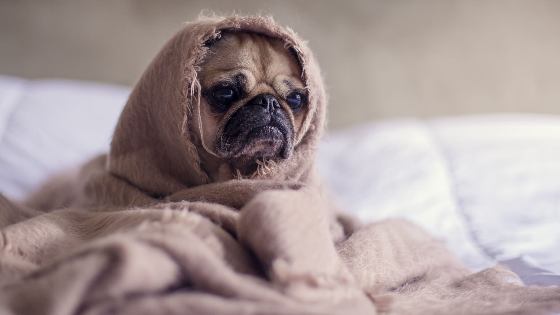 pug wrapped up in a blanket