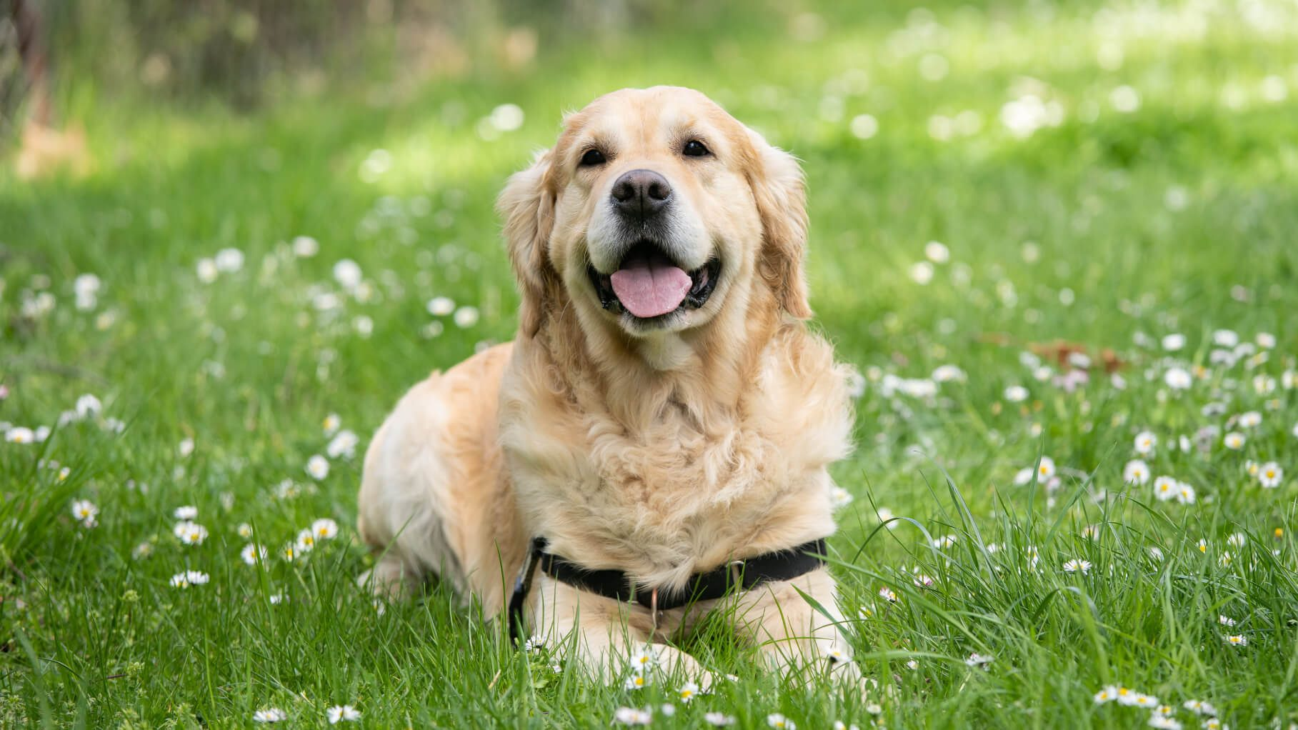 golden retriever sitting in a green field