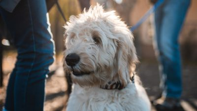 goldendoodle puppy celebrating national puppy day with his owners in chicago