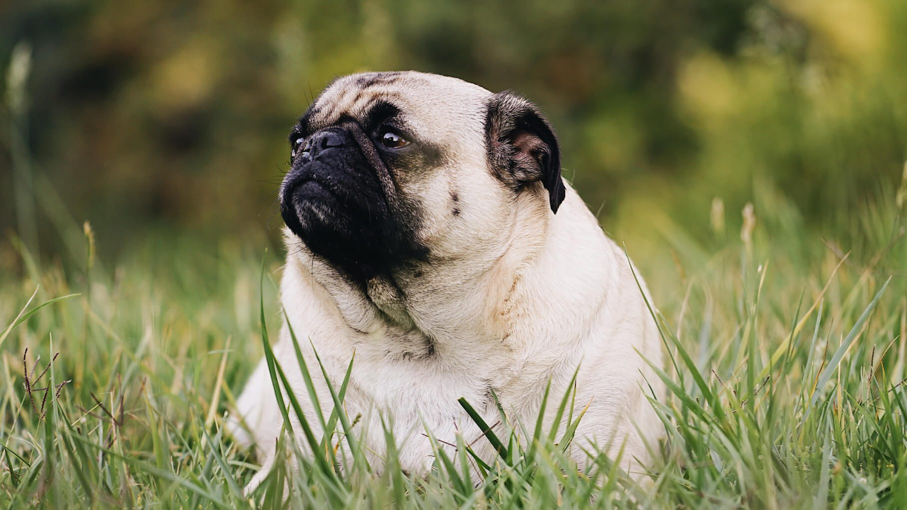 fat pug sitting in the grass of a chicago park