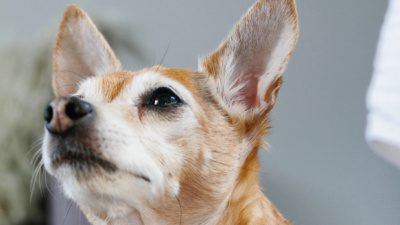 old orange dog with pointy ears