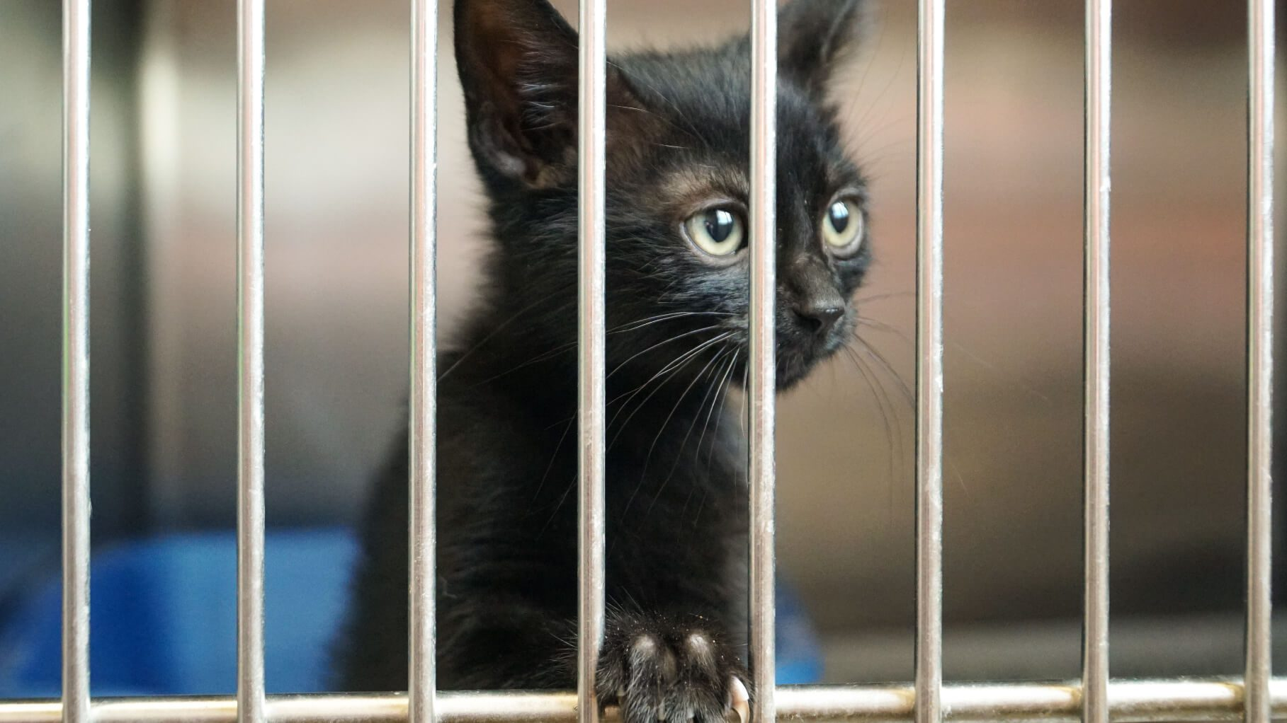 black kitten in a cage at a chicago shelter