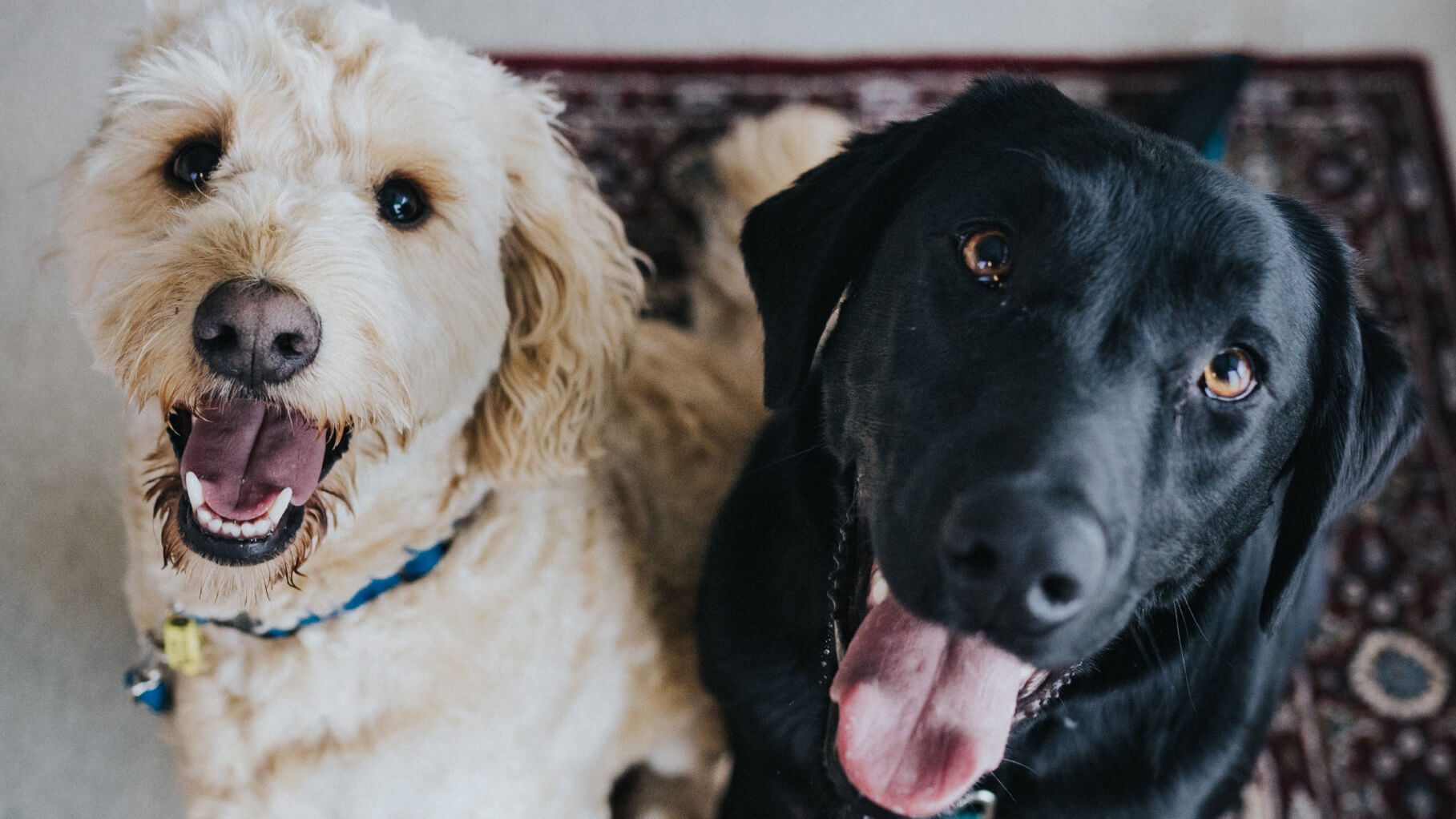 gooldendoodle and black lab sitting together