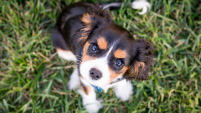black, white, and brown puppy sitting in the grass
