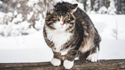 white brown and black cat standing on a snowy log