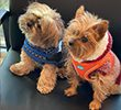two dogs in cute sweaters waiting for their appointment at Village West Vet