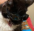 Cat wearing goggles after eye treatment at village west vet
